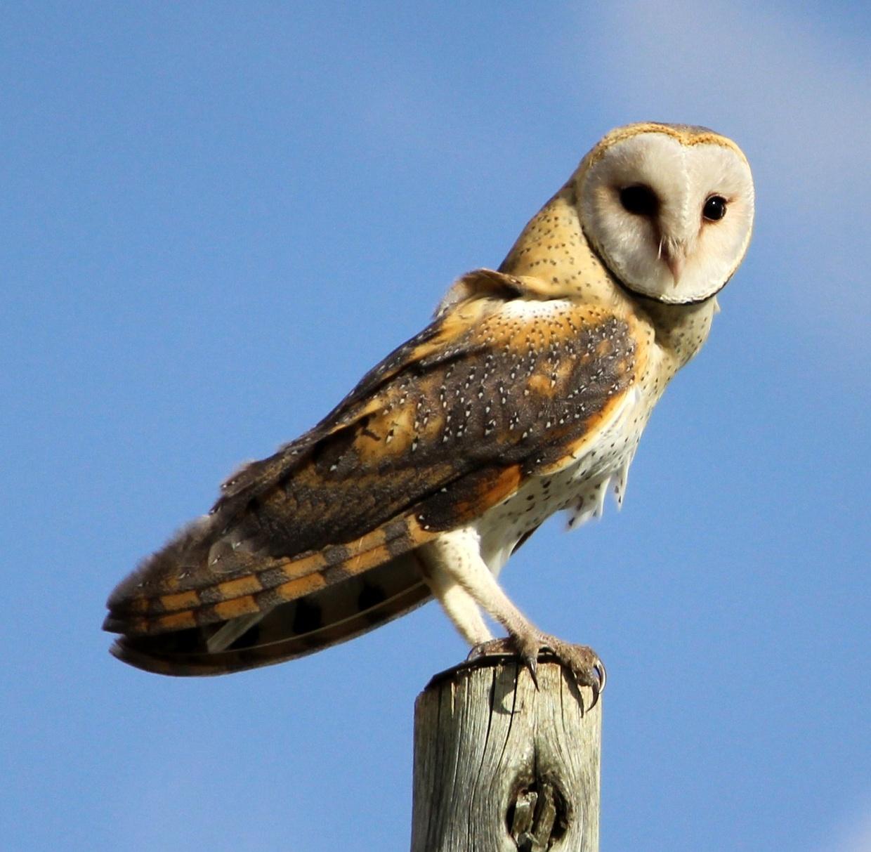 urban barn barns owl pellets pi hawks pellet