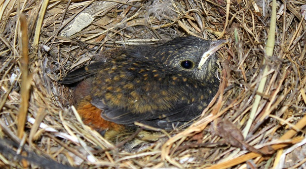 A young Cape Robin Chat at A between Ficksburg & Clocolan in the Eastern Free State.