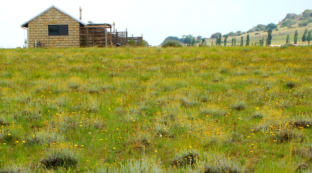 Amohela ho Spitskop Country Retreat & Conservancy where the re-wilded grasslands are filled with beautiful wild flowers, fields of golden imphepo- helichcrysum- a wonderful indigenous healing plant.