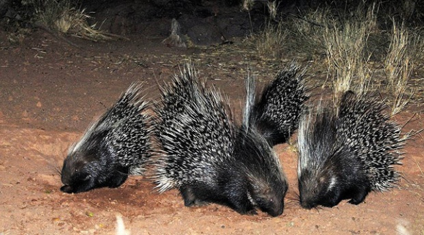At Amohela ho Spitskop Country Retreat & Conservancy delightful porcupine families come out to root in the mountain.