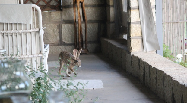 A young scrub hare comes visiting on the veranda at Dassie House, Amohela ho Spitskop Country Retreat & Conservancy between Ficksburg & Clocolan in the Eastern Free State