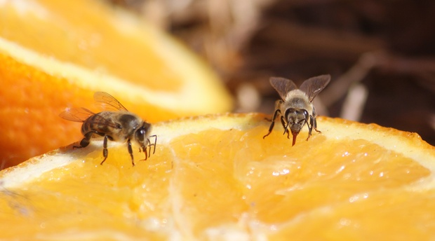 Bees feeding on oranges at Amohela ho Spitskop Country retreat & Conservancy situated in the valley between Ficksburg & Clocolan in the Eastern Free State