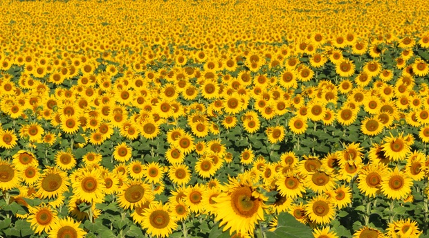 Millions and millions of Sunflowers smiling upon Amohela ho Spitskop Country Retreat