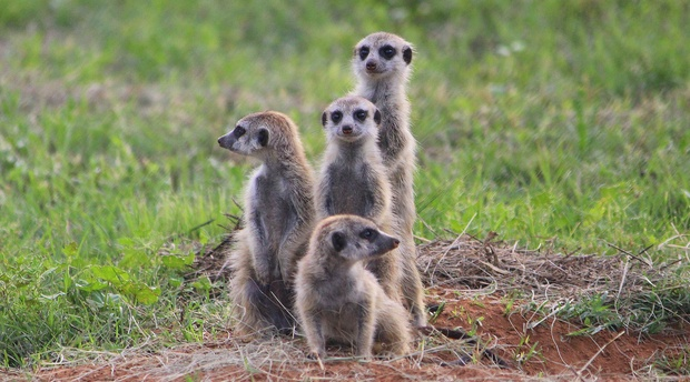 A Family of Meerkats at Amohela ho Spitskop Country Retreat & Conservancy between Ficksburg & Clocolan in the Eastern Free State