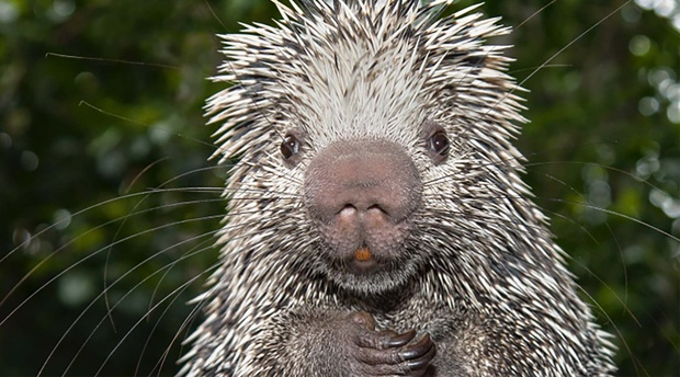 There are many porcupines at Amohela ho Spitskop Country Retreat between Ficksburg & Clocolan in the Eastern Free State