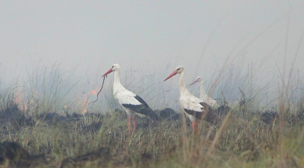White storks on a summer burn at Amohela ho Spitskop Country Rereat & Conservancy between Ficksburg & Clocolan in the Eastern Free State
