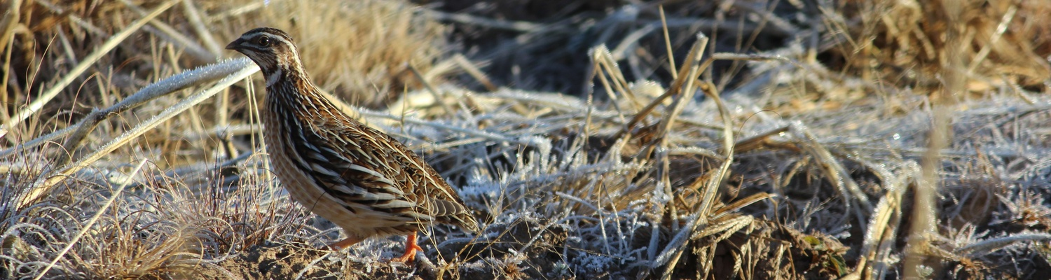 Common quail found on Amohela ho Spitskop Country Retreat & Conservancy.